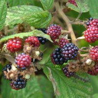 Brombeeren_gross